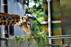 Girafa que gorging nas folhas - Pequim imagem de stock royalty free