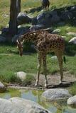 Girafa que inclina-se para baixo para beber fotos de stock