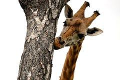 Girafa que mordisca na árvore Imagens de Stock Royalty Free