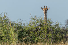 Girafa que olha sobre o arbusto sob o céu azul Foto de Stock