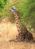 Girafa que senta-se na grama ao descansar sob um arbusto, kuangwa sul, Zâmbia imagem de stock