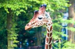 Girafa selvagem gracioso que olha à esquerda, no parque zoológico foto de stock