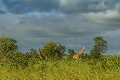Girafa selvagem no arbusto no parque de Kruger, África do Sul imagem de stock