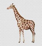 Girafa selvagem no fundo transparente ilustração royalty free