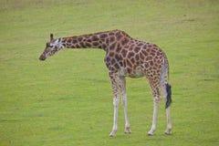 Girafa solitário Fotos de Stock