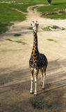 Girafa sozinho no jardim zoológico Imagem de Stock Royalty Free