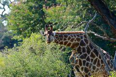 Girafa, Zimbabwe, parque nacional de Hwange Fotos de Stock Royalty Free