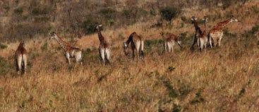 Girafas Imagens de Stock