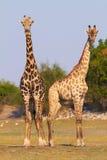 Girafas africanos fotos de stock