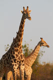 Girafas africanos Imagem de Stock Royalty Free