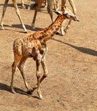 Girafas animais bonitos em Tailândia Fotos de Stock