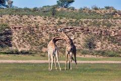 Girafas bonitos no amor, animais selvagens de África do Sul imagens de stock royalty free