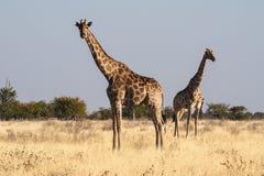 Girafas, camelopardalis do Giraffa no parque nacional de Etosha, Nam?bia fotos de stock royalty free