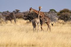 Girafas, camelopardalis do Giraffa no parque nacional de Etosha, Nam?bia imagem de stock royalty free
