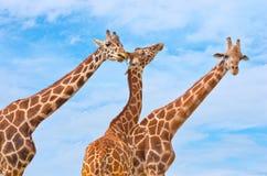 Girafas contra o céu azul Fotos de Stock Royalty Free