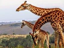Girafas da árvore no arbusto africano Fotografia de Stock