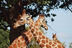Girafas de afago fotografia de stock royalty free