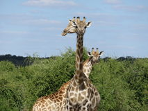 Girafas de levantamento engraçados no Okovango, Botswana Fotos de Stock