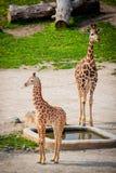Girafas do bebê em um jardim zoológico Imagens de Stock Royalty Free