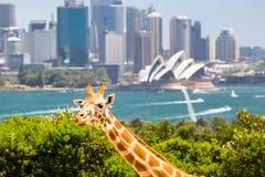 Girafas do jardim zoológico de Taronga Fotografia de Stock
