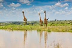 Girafas do Masai refletidos imagem de stock