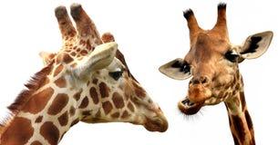 Girafas dos pares sobre o branco Foto de Stock Royalty Free