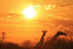 Girafas dourados - fundo dos animais selvagens de África - beleza natural Foto de Stock Royalty Free