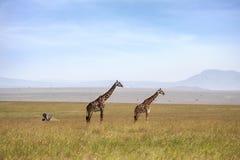Girafas e elefantes em Masai Mara imagens de stock