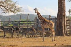 Girafas e zebras no savana Imagens de Stock Royalty Free