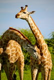 Girafas em Namíbia Foto de Stock Royalty Free