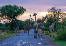 Girafas em uma estrada durante o crepúsculo imagens de stock royalty free