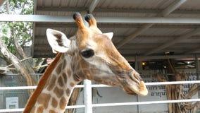 Girafas na caminhada do jardim zoológico em torno do aviário filme