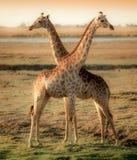Girafas na cruz no delta africano Fotos de Stock Royalty Free