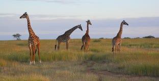 Girafas nas planícies em África Fotografia de Stock