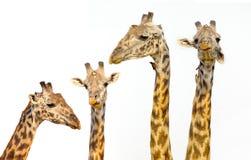 Girafas  No fundo branco Fotos de Stock Royalty Free