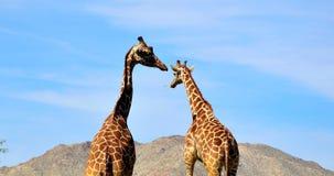 Girafas no jardim zoológico Imagens de Stock