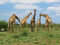 """Girafas no parque de Hluhluwe†""""Imfolozi, África do Sul Fotografia de Stock"""
