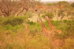 Girafas no parque nacional de África Tsavo fotos de stock royalty free