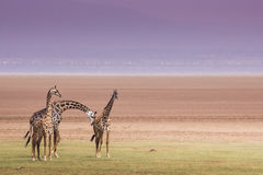 Girafas no parque nacional de Manyara do lago, Tanzânia Imagem de Stock