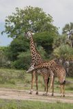 Girafas no safari africano Foto de Stock Royalty Free