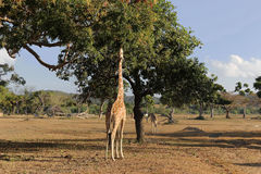 Girafas no savana Fotografia de Stock Royalty Free