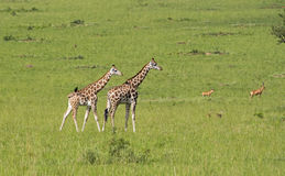 Girafas no savanna imagens de stock