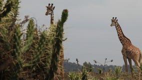 Girafas no savanna kenya video estoque