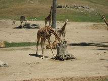 Girafas no selvagem Imagem de Stock Royalty Free
