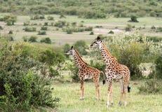 Girafas nos arbustos dos savanas Fotografia de Stock