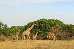 Girafas para uma caminhada no savana Fotos de Stock Royalty Free