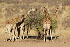 Girafas que alimentam em uma árvore fotografia de stock
