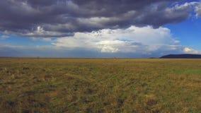 Girafas que andam ao longo do savana em África video estoque