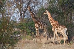 Girafas que andam na floresta Imagem de Stock