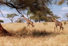 Girafas que andam no arbusto Fotos de Stock
